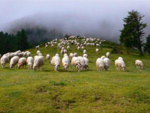 moutons-a-l-estive-0_620x465